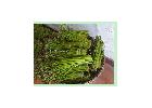 供应盐渍绿蕨菜.